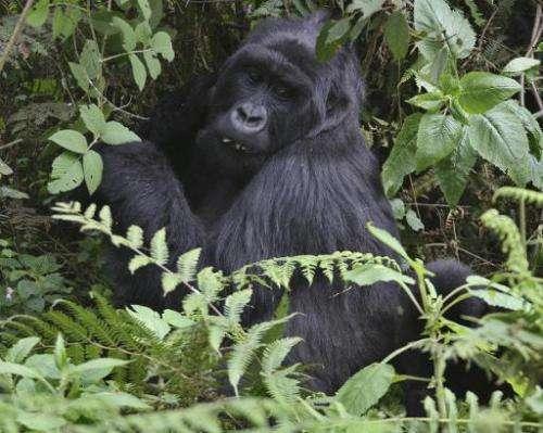 A mountain Gorillas frolicks in dense undergrowth at the Virunga National park in Rwanda on June 17, 2012