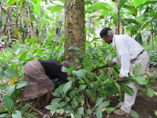 Analysis of African plant reveals possible treatment for aging brain