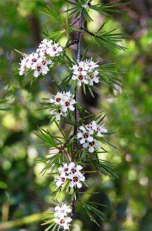 And then there were 10 -- unexpected diversity in New Zealand kanuka genus Kunzea