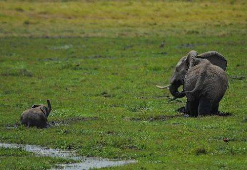 An elephant and its calf graze on October 8, 2013 at Amboseli National Park, approximately 220 kms southeast of Nairobi