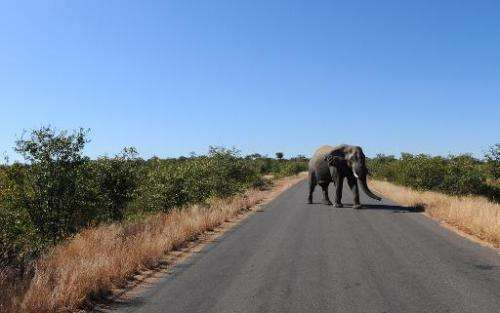 An elephant crosses the main road on June 22, 2010 at Kruger National Park
