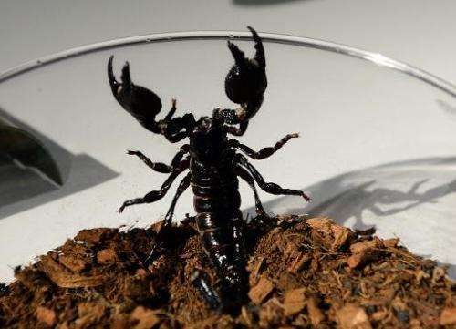 "An Emperor scorpion wants out of a bowl during a media preview for ""Spiders Alive"" July 1, 2014 at the American Museum"