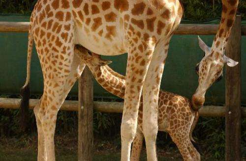 A Niger giraffe named Houbou feeds her baby on August 24, 2005 at the Zoo des Sables d'Olonne in France