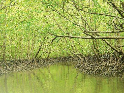 Antibiotics from mangroves