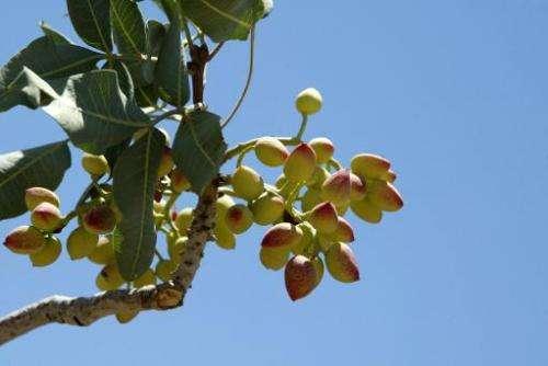 A pistachio tree in a field in Bahreman village, in southeastern Iran, on June 12, 2005