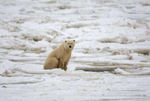 A polar bear sits on the frozen Hudson Bay next to a hole in the ice and close to the shore waiting for a seal meal, near Church