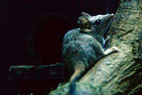 A red-tailed phascogale is seen in its enclosure at Taronga Zoo in Sydney on May 7, 2014