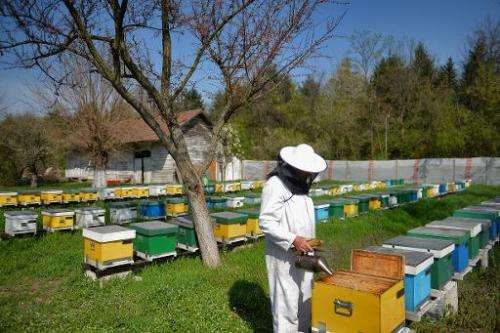 A Romanian bee keeper is seen checking hives near Bucharest, on April 4, 2014