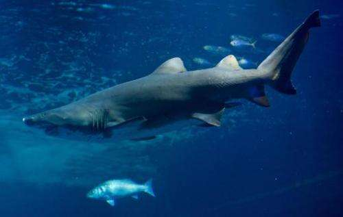 A sand tiger shark swims in an aquarium at the aqua zoo in Stralsund, Germany on February 14, 2013