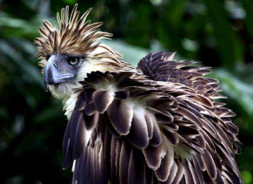 A seven-year-old Philippine eagle (Pithecopaga jefferyi) is pictured at the Philippine Eagle Center (PEC) on the outskirts of Da