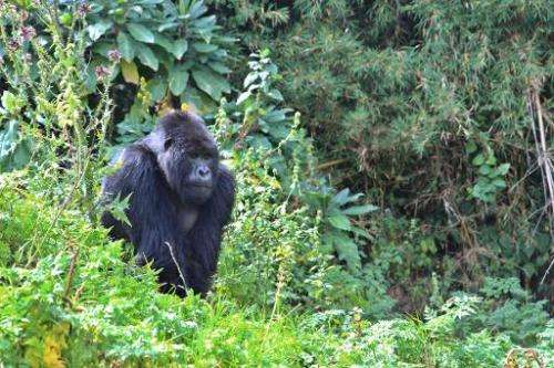 A silverback mountain gorilla at the Volcanoes National Park in northern Rwanda on September 3, 2014