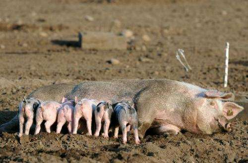 A sow feeds her piglets on a free range pig farm near Dorum, northeastern Germany, on April 16, 2014