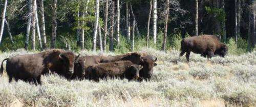 Aspen recovering as wildlife populations shift in Yellowstone National Park
