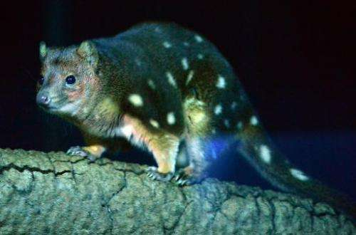 A spotted quoll is seen in its enclosure at Taronga Zoo in Sydney on May 7, 2014