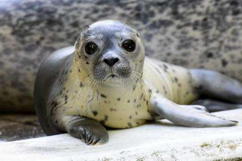 A study revealed that seals are more quickly attracted to fish that have been attached with sound-emitting tags, creating a &quo