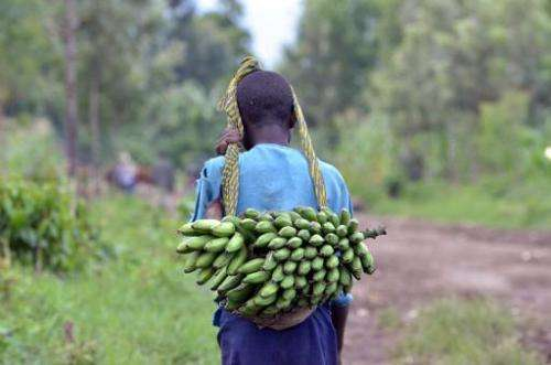 A super-enriched banana genetically engineered to improve the lives of millions of people in Africa will soon have its first hum