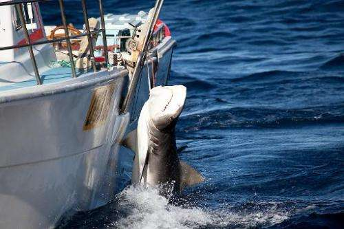 A the Sea Shepherd Australia/ Animal Amnesty photo shows a tiger shark being caught off Moses Rock in Western Australia, Februar