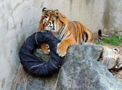 A tiger plays with a denim covered tyre at the Kamine Zoo in Hitachi city in Ibaraki prefecture, eastern Japan