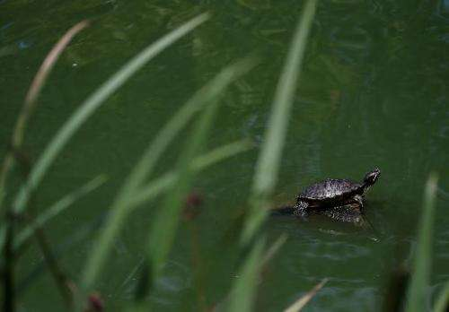 A turtle sits on a rock at Stow Lake on August 11, 2014 in San Francisco, California