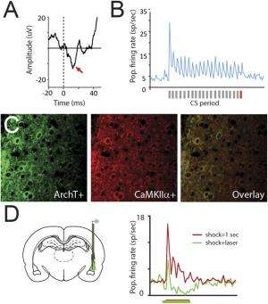 Auditory CS-evoked responding in LA cells