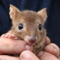 Australian marsupial the woylie at risk again
