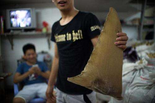 A young worker holding a dried shark fin at a shop in Shantou, in southern China's Guangdong province, August 9, 2014
