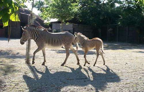 Baby zebra is latest success in research partnership