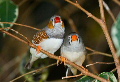 Bad parenting could give zebra finches the evolutionary edge