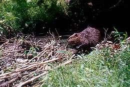 Beavers keep riparian systems healthy