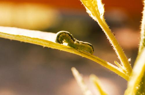 Beet armyworm