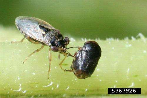 Beneficial insects, nematodes not harmed by genetically modified, insect-resistant crops