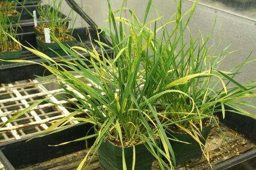 Better genetic markers developed for wheat streak mosaic virus resistance