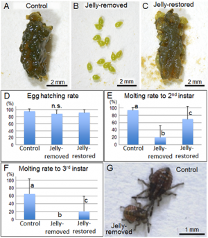 Biological roles of symbiont-supplemented egg-covering jelly of urostylidid stinkbugs