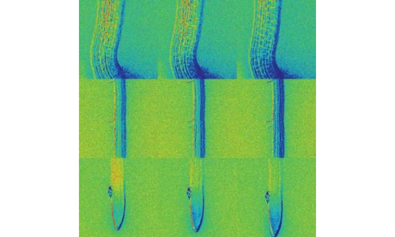 Biologists develop nanosensors to visualize movements and distribution of plant hormone