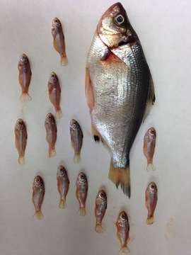 Biologists give paternity tests to fish