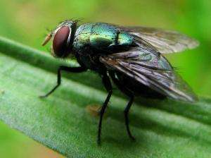 Blowfly maggots provide physical evidence for forensic cases