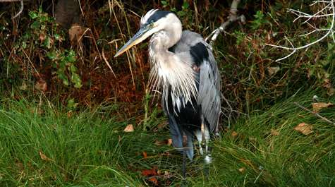 Blue herons are nesting among the bald eagles, but why?
