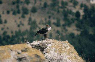 Bonelli's Eagle diet reconstruction by means of isotope analysis to improve population conservation
