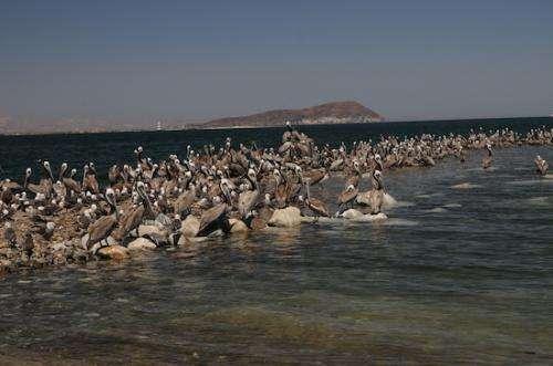 California brown pelicans' breeding rates dismal