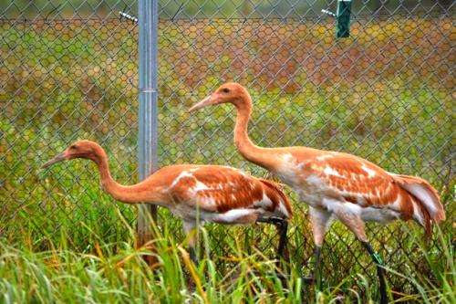 Captive whooping cranes released into the wild
