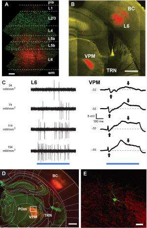 Cell-type–specific optogenetic stimulation of L6 evokes synaptic responses in the VPM