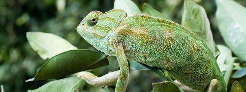 Chameleon crystals could enable active camouflage (w/ video)
