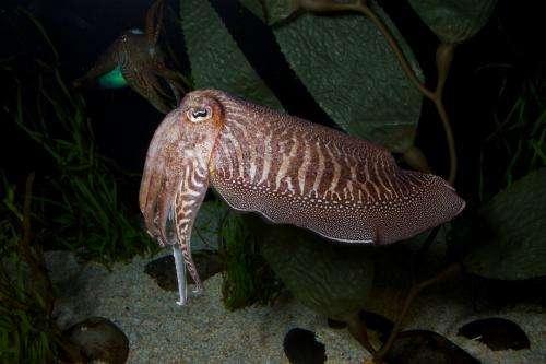 'Chameleon of the sea' reveals its secrets