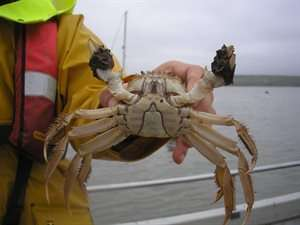 Chinese mitten crab invades Scotland and poses threat to salmon and trout