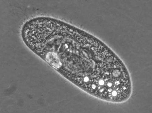 Cilia use different motors for different tasks