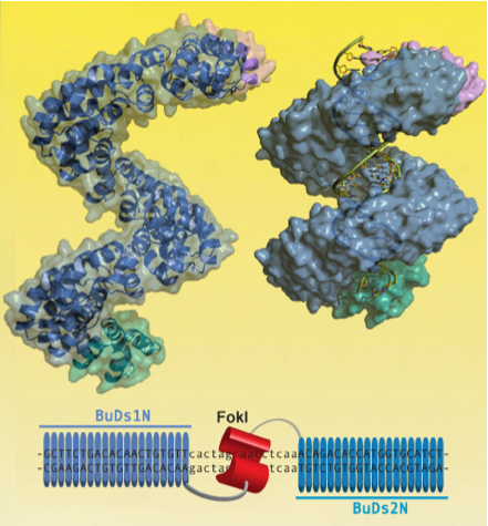 CNIO scientists develop technology to redirect proteins towards specific areas of the genome