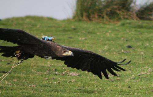 Collapsible wings help birds cope with turbulence