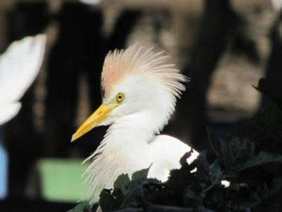 Colonization of Brazil by the cattle egret