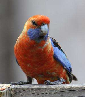 Colour variability in Crimson Rosellas is linked to a virus