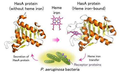 Combatting hospital-acquired infections with protein metal complex
